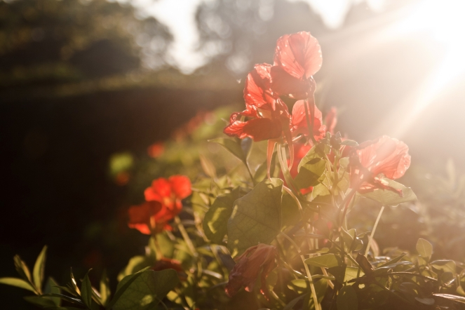 light-sunset-red-flowers.jpg
